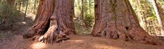 Calaveras Big Trees State Park. My favorite state park, I think. Great trails easy enough for the entire family. Big picnic areas. Only 3 hours from Oakland. And, of course, lots of big trees.