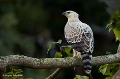 Crowned Hawk-eagle (Stephanoaetus coronatus) A Six-Month Old African