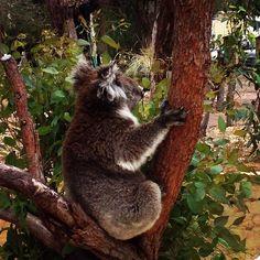 This guy || Great Ocean Road #aussieadventure #roadtrips #activelife #surflife #yoga #mantra #wanderlust #wanderer #australia #victoria #greatoceanroad #koala #naturelovers #naturalbeauty by rawadventurer