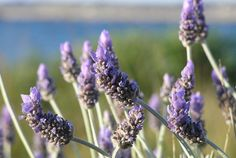 This is a picture of lavender growing in the wild. It finds use in aromatherapy among many other things. We used this image to illustrate what a vaporizer, which is a device that transforms material into vapor through the controlled application of heat. We wrote more about this, the definition of a vaporizer, in a guide on our website that we've attached this pin to. So check it out if you want to learn more about what vaporizers are.