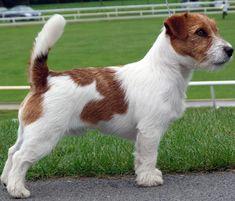 Australian Jack Russel Terrier
