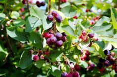 This Superfruit Has Arrived In Michigan – Saskatoons - http://www.homesteadingfreedom.com/this-superfruit-has-arrived-in-michigan-saskatoons/