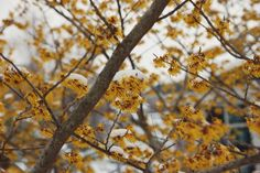 'Arnold Promise' witch hazel in the Riley Garden.