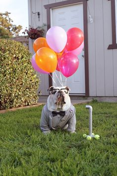 carl fredricksen from up. British Bulldog, Old English Bulldog, Bulldog Puppies, Cute Puppies, Bulldog Costume, Cute Little Animals, Animal Party, Puppy Love, Animals And Pets