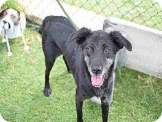Atlanta, GA - Labrador Retriever Mix. Meet ROBIN, a dog for adoption. http://www.adoptapet.com/pet/16382633-atlanta-georgia-labrador-retriever-mix