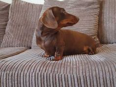 It is with a heavy heart we are looking for a new home for our gorgeous miniature dachshund girl. She is house & crate trained she is good on or off t Dachshund Breed, Dapple Dachshund, Wire Haired Dachshund, Funny Dachshund, Dachshund Love, Pet Breeds, Puppy Breeds, Small Dog Breeds, Weenie Dogs