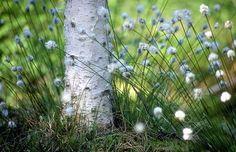 Koivu, Birch + Tupasvilla, Cottongrass