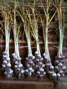 Roslin, Ontario - Garlic drying at the farm