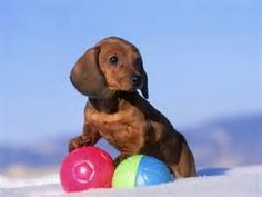 """Obtain fantastic tips on """"dachshund puppies"""". They are readily available for you on our internet site. Dachshund Rescue, Mini Dachshund, Dachshund Puppies, Cute Puppies, Cute Dogs, Daschund, Scottish Terrier, Funny Dachshund Pictures, Funny Dogs"""