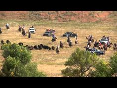 2015 Custer State Park Buffalo Roundup - YouTube