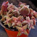 Succulents - Crassula alpestris...I want the pink ones.  Also search - Crassula Perforata Variegata