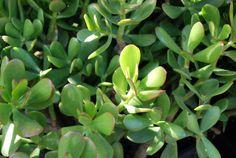Nome popular: Planta-jade. Nome científico: Crassula ovata