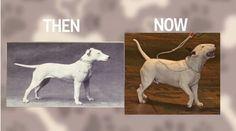 Oto jak 100 lat hodowli zniekształciło najpopularniejsze rasy psów – Strona 5 – Viralka