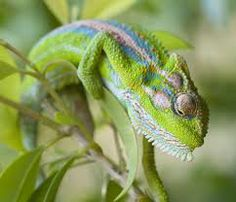 types of chameleons in south africa - Google Search