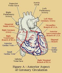 coronary arteries of the heart anatomy Medical Coding, Medical Science, Cath Lab Nurse, Coronary Circulation, Arteries Anatomy, Cardiac Sonography, Heart Anatomy, Cardiac Nursing, Respiratory Therapy