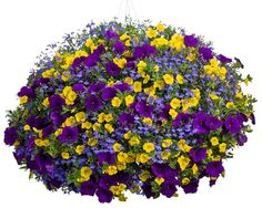 Yellow Calibrachoa (we carry 'Callie Deep Yellow'), Petunia 'Supertunia Royal Velvet', and Blue Lobelia (we carry 'Hot Waterblue'): use one petunia in the center and 2 or 3 of each of the other two, alternated around the petunia)