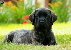 Lacey, English Mastiff Puppy