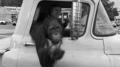 #gif #orangutan #fuckyou #monete