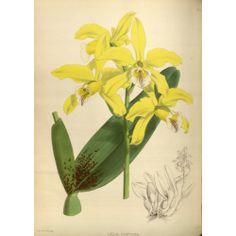 Laelia Xanthina Orchid