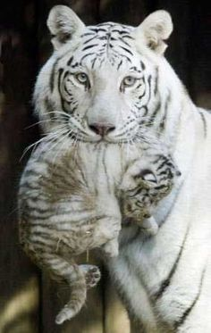 White Bengal Tiger with Cub