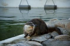 Otter concentrates very hard on nomming his food - December 4, 2013