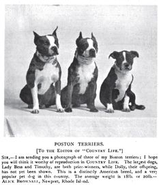 1900 Boston Terriers Photo: From 'The Country Life Illustrated'. This Photo was uploaded by Pietoro Brindle Boston Terrier, Boston Terrier Love, Boston Terriers, Puppies For Sale, Dogs And Puppies, Doggies, Terrier Breeds, Dog Breeds, Vintage Dog