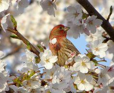 Finch Enjoying the Blossoms, via Flickr.
