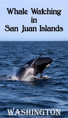 Seeing orcas and other wildlife at the Orcas Island, San Juan Islands, Washington. An unforgettable experience! http://mytanfeet.com/pacific-northwest/whale-watching-at-orcas-island/