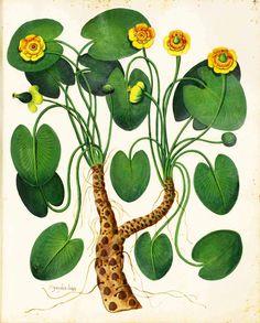 Botanical Flowers - Premium Member -Public Domain Images