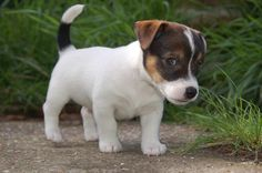 Introducing, Molly the Jack Russell