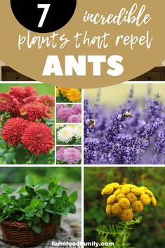 This article tells how to keep your garden healthy and blooming. Various insects like ants can kill your favorite garden, so make sure to have some flowering plants or herbs in your garden to make it look pretty, useful and ant-proof. Plants That Repel Ants, Organic Insecticide, Organic Pesticides, Organic Gardening Tips, Vegetable Gardening, Container Gardening, Indoor Gardening, Balcony Gardening, Kitchen Gardening