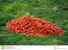Photo about China accounting for 31% of the total, followed by India, the United States and Turkey as the major producers of tomatoes. Image of china, turkey, field - 116996714