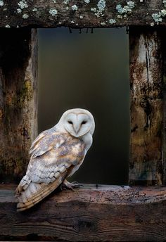 barn owl tyto alba sitting on window ledge ~ Photo by Alamy Owl Photos, Owl Pictures, Pretty Pictures, Beautiful Owl, Animals Beautiful, Animals Amazing, Barn Owl Images, Animals And Pets, Cute Animals
