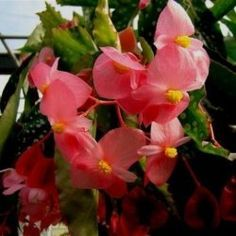 How to propagate begonias by cuttings. Step by step guide to growing begonias from cuttings.