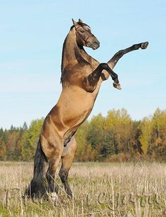I just love a rearing horse, shows such power.   BUT I don't like to be on them when they rear