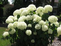 The Snowball perennial grows many large balls of flowers. Ezzy loves these!