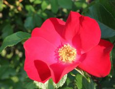 Robusta (Palatine Roses)