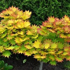 Acer Autumn Tree Seeds for sale Japanese Maple Varieties, Dwarf Japanese Maple, Japanese Tree, Maple Tree Varieties, Low Growing Shrubs, Growing Tree, Deciduous Trees, Trees And Shrubs, Gardens