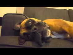 Boxers are known for their hilarious antics, and this includes being expressive with their faces, paws, and even their voices! Lily, a pup from Australia, is a