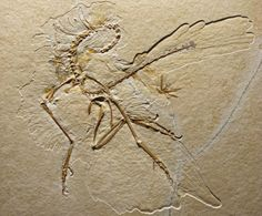 New specimen of Archaeopteryx reveals previously unknown features of the plumage | Geology Page