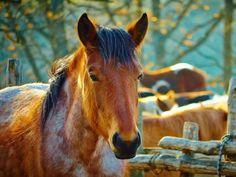 Les fonds d'écran - La tête d'un poney