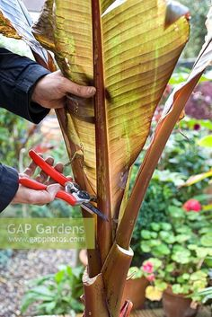 How to Grow Banana Plants Indoors and Outdoor - GoWritter Banana Plant Indoor, Banana Plants, Fruit Plants, Tropical Plants, Fruit Trees, Potted Trees, Potted Plants, Indoor Plants, Greenhouse Gardening