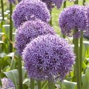 Allium 'Pinball Wizard'. Click image to add to your plants list and to get care reminders each month.    Other names: Allium 'Pinball Wizard'    Genus: Allium    Variety or cultivar: 'Pinball Wizard' _ 'Pinball Wizard' is a bulbous perennial with glossy, strap-shaped, mid-green basal leaves and, from late spring into summer, sturdy, erect stems bearing dense, rounded umbels of star-shaped, silvery, purple to purple-pink flowers.