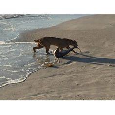 ICYMI: Bobcat Dragging Shark Onto Beach Pic No Hoax, Experts Say