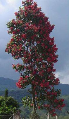 Triplaris ou Pau formiga (Triplaris brasiliensis)  É uma árvore bastante vistosa com sua floração vermelha, que só acontece nas árvores fêmeas. Naquelas do gênero masculino as flores são pequenas e de cor cinza. Muito utilizada no paisagismo, mantêm a floração por vários meses. Sua floração acontece entre Maio e Junho, e dura um bom tempo em cada árvore. Flowering Trees, Trees And Shrubs, Trees To Plant, Amazing Flowers, Beautiful Roses, Beautiful Images, Garden Pictures, Nature Pictures, Colorful Trees