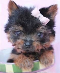 Yorkshire Terrier Puppy For Sale at TeaCups Puppies