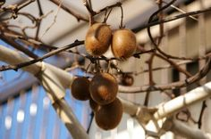 Harvesting Kiwi Fruit: How And When To Harvest Kiwis -  Kiwi fruit is a lovely green with tiny uniform and edible black seeds inside the fuzzy brown skin, which is removed before eating. Find out when to harvest the tasty fruits in this article.