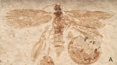 Sciency Thoughts: Fourteen new species of Moth from the Middle Jurassic Jiulongshan Formation of Inner Mongolia.