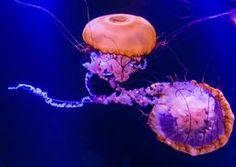 Photo Pacific Brown Sea Nettles by Cathy Donohoue on Ocean Life, Atlantis, Deep Blue, Aquarium, Sea, Brown, Nature, Colors, Goldfish Bowl