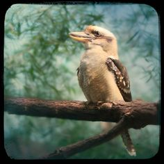 Laughing kookaburra - 8x8 photography print. $39.00, via Etsy.